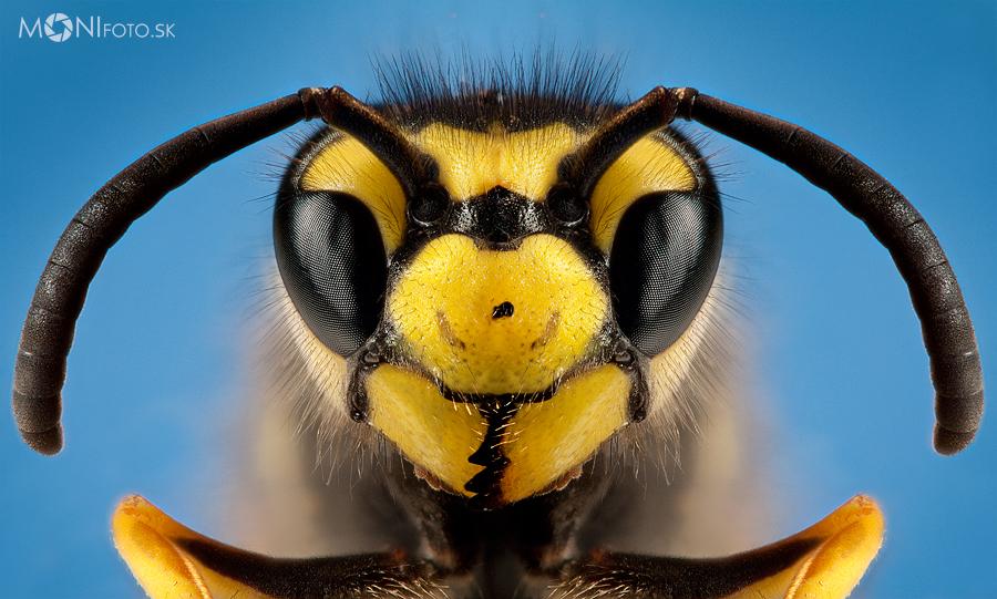 European Wasp by shalgona