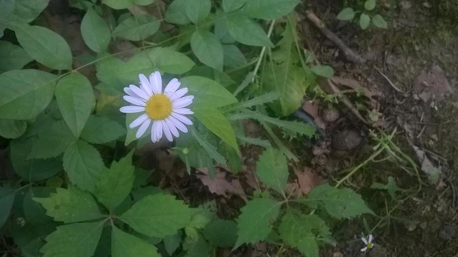 Daisy by tristenh11
