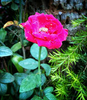 Pink Flower On My Backyard by iamjasz