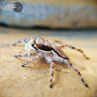 White-spotted Jumping Spider by iamjasz