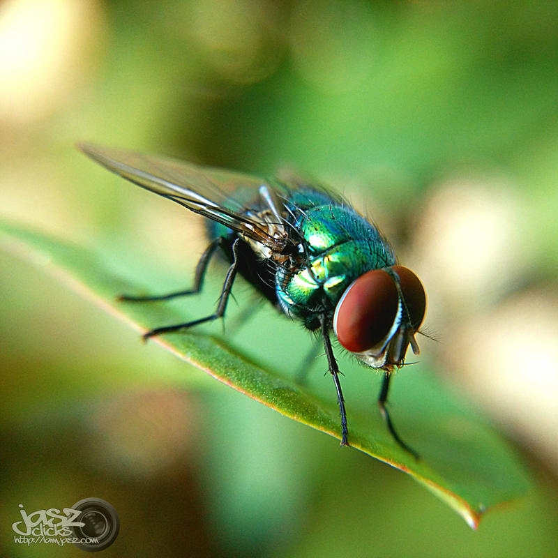 Resting Fly by iamjasz