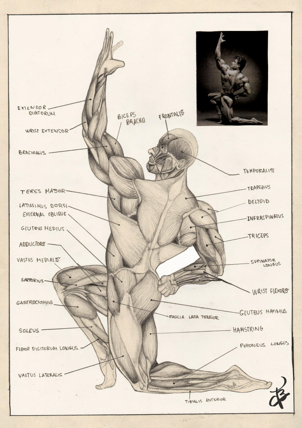 muscles of the human body by lvito00 on deviantart, Muscles