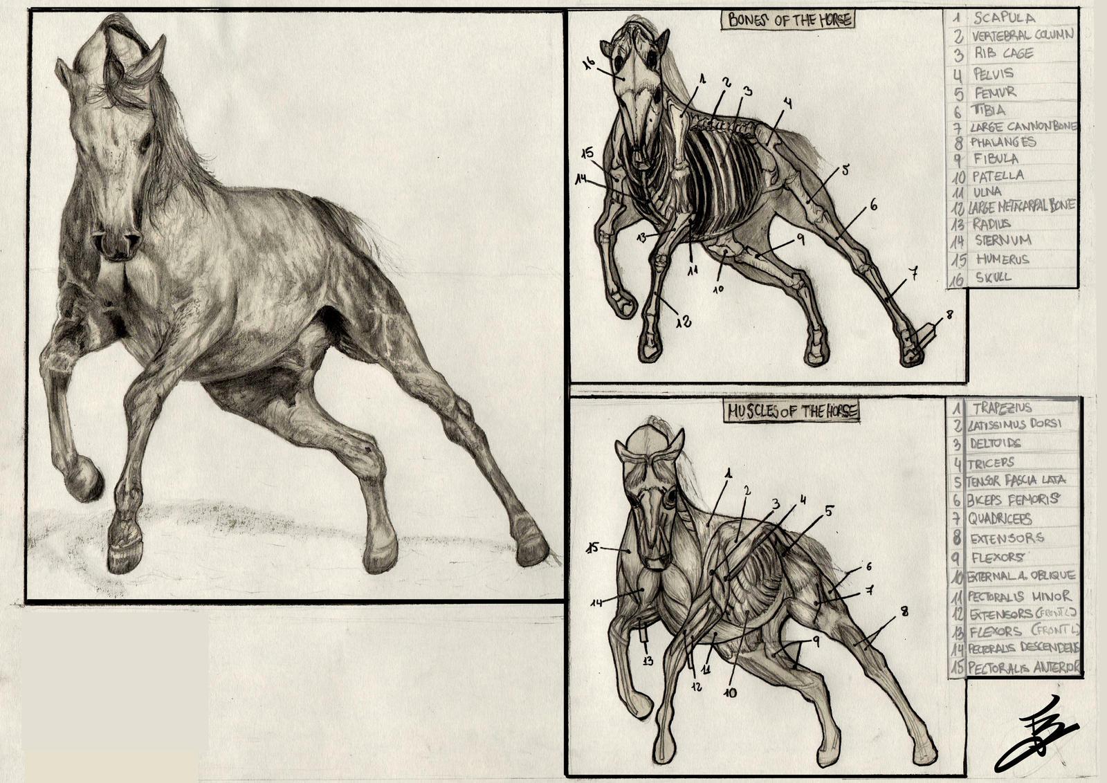 Horse Anatomy by lvito00