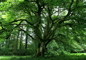 The Great Beech Tree by Navanna