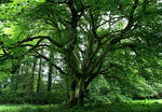 The Great Beech Tree