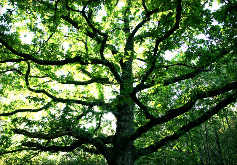Branches of the Oak Tree by Navanna