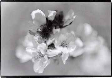 Cherry Blossoms by oppet2