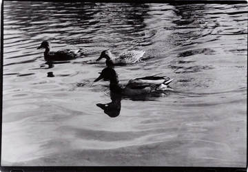 Reflections of Ducks by oppet2