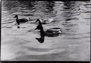 Reflections of Ducks