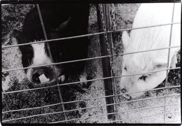 Two Little Piggies by oppet2