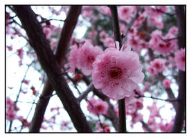 Cherry Blossom by oAlucardo