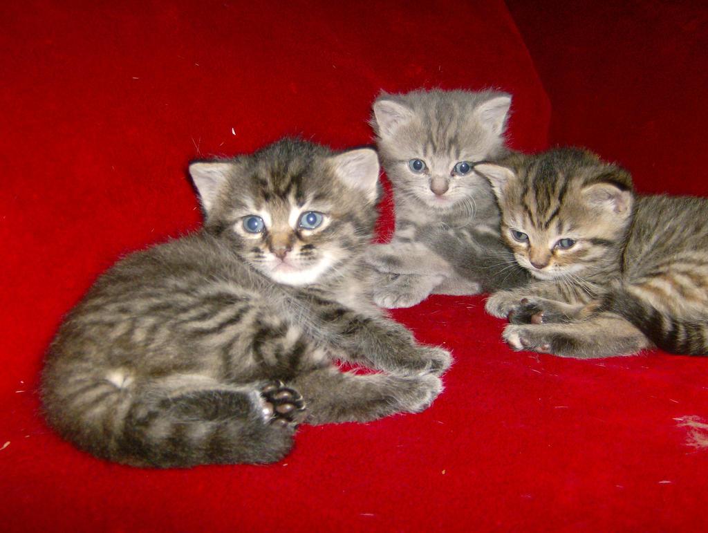 peter bald cats