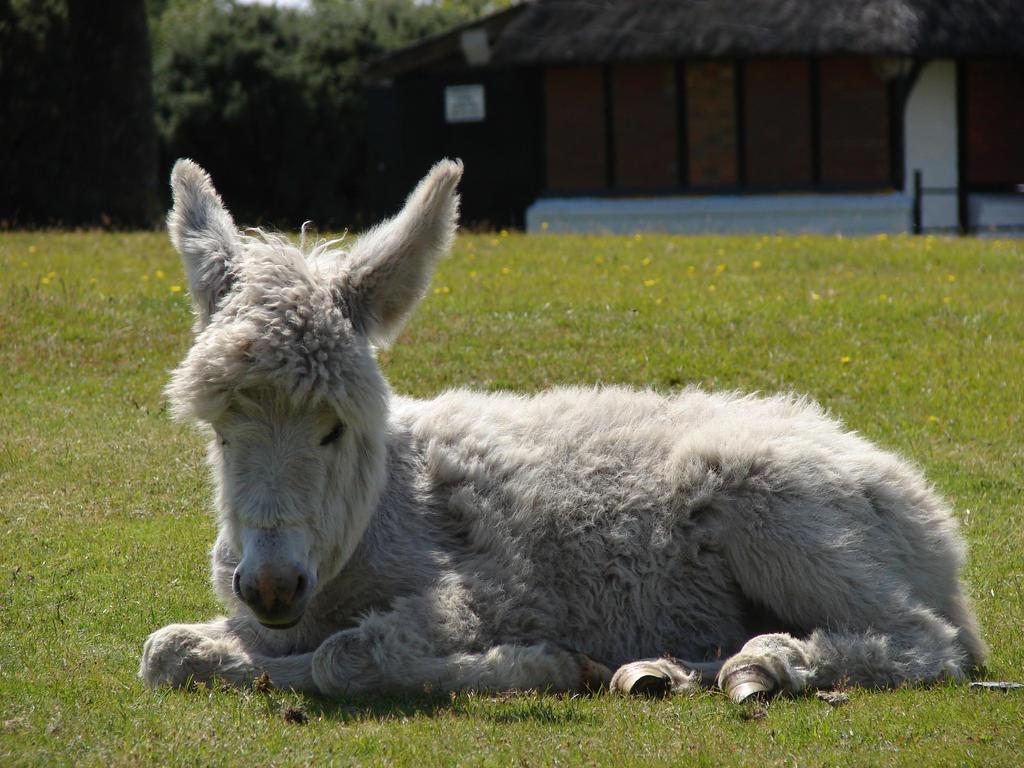 DSC00611 Young Donkey at Bolton's Bench, Lyndhurst by VIRGOLINEDANCER1