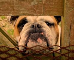 Bored Bulldog by Amy-Smith