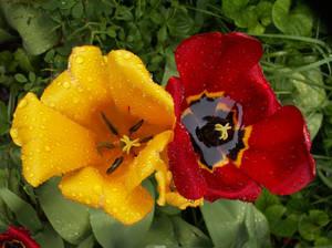 Rainy tulips