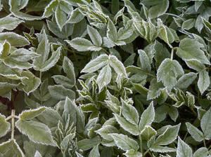 Frosty leaves.