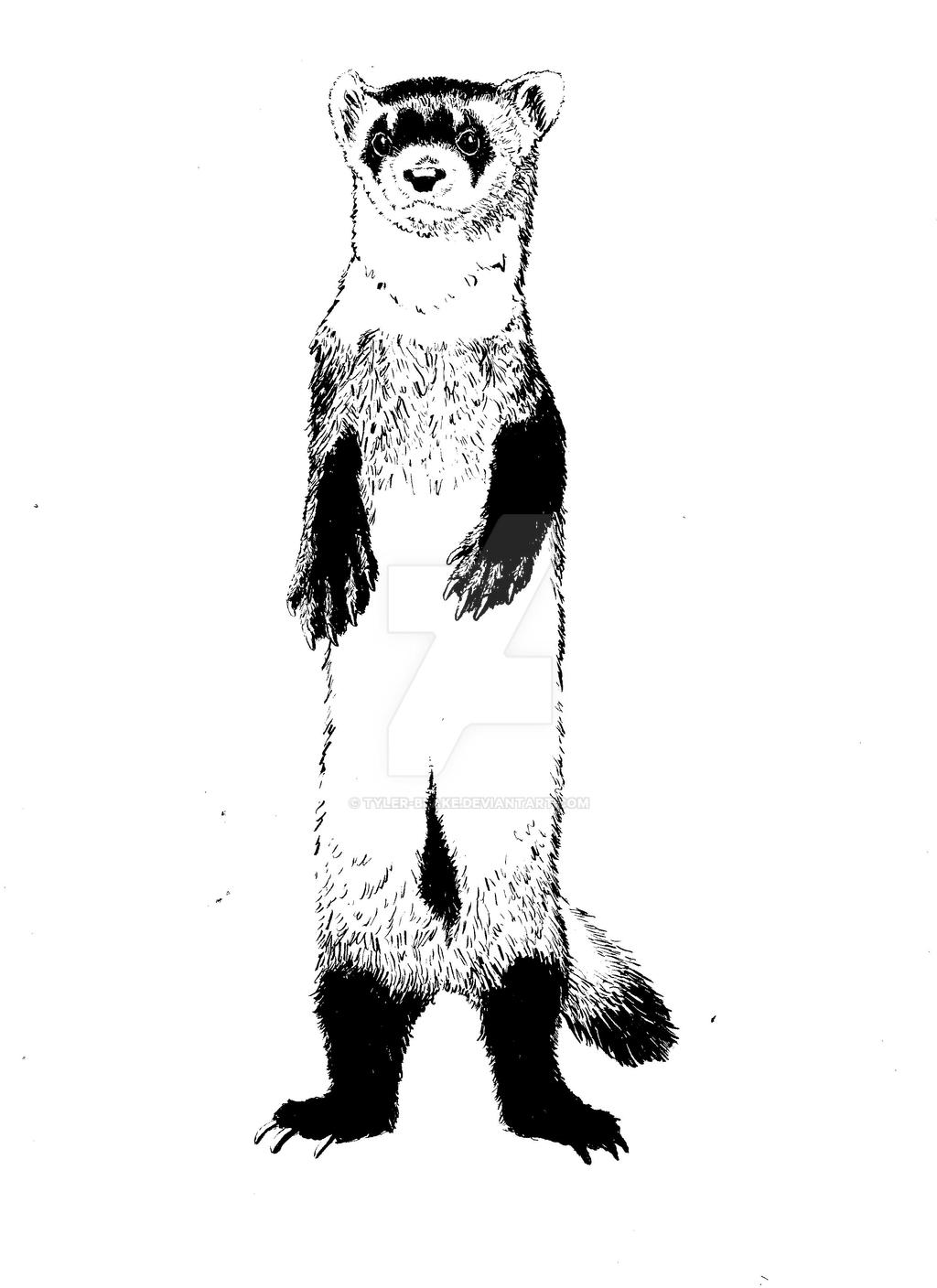 how to draw a black footed ferret