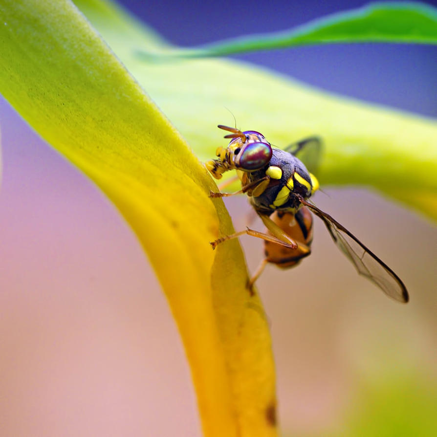 fruit fly by hirza