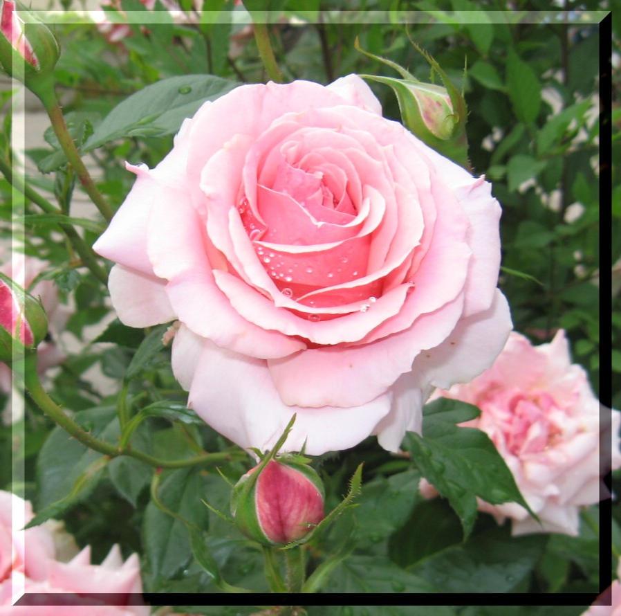 Light Pink Roses Tumblr