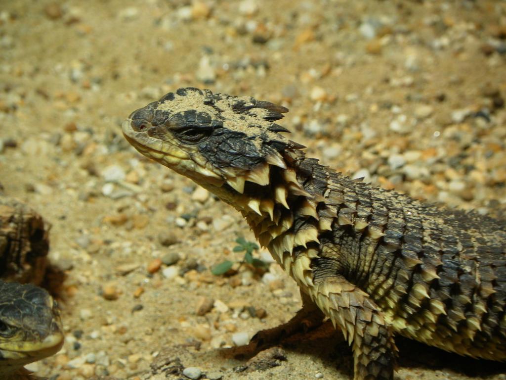 Baby armadillo girdled lizard
