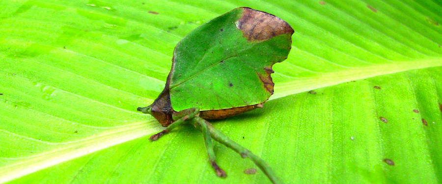 Costa Rican Leaf Katydid by Hoodoo2060