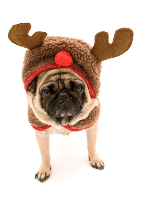 Reindeer Costume Pug in Reindeer Costume by