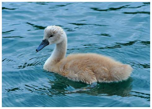 swan baby