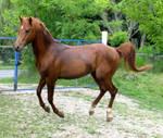 Arabian stallion stock