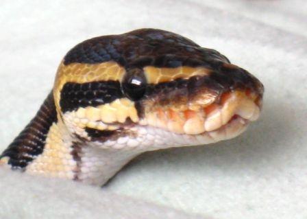 baby ball pythons cute