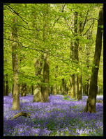 This Year's Bluebells by Bogbrush