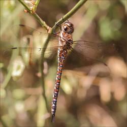 Female Migrant Hawker Dragonfly by Bogbrush