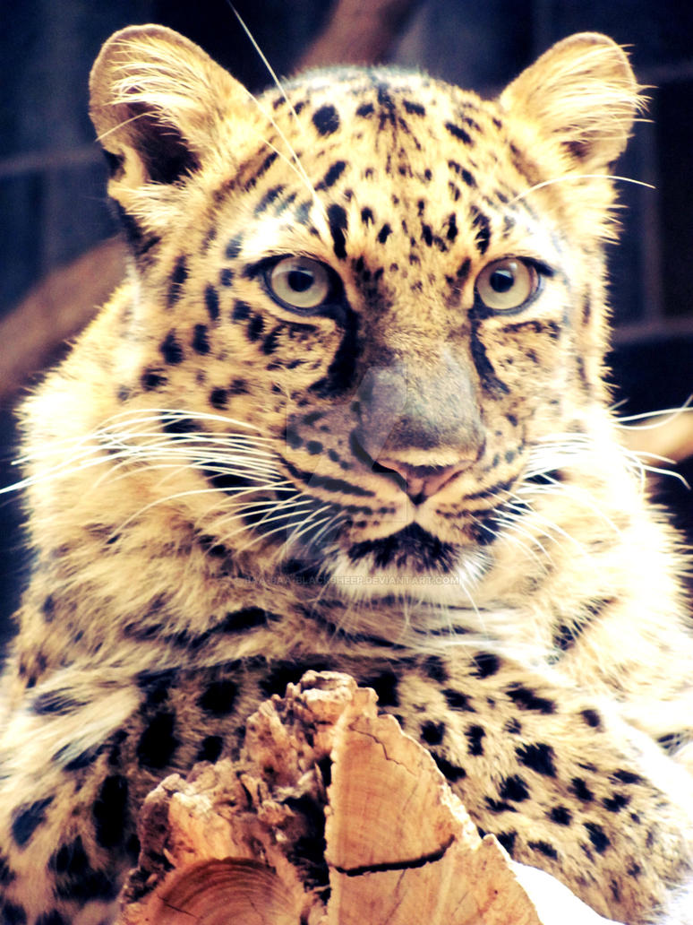 Amur Leopard by Baa-Baa-BlackSheep