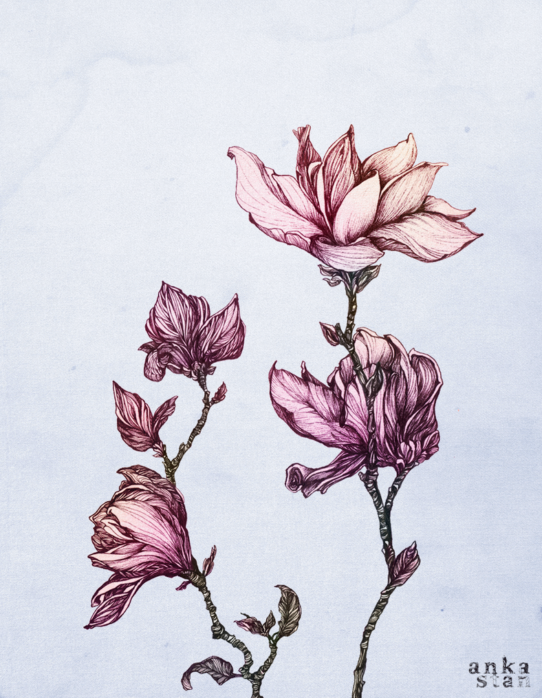 Spring Magnolias by AnkaS