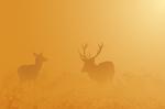 Red Deer in morning fog