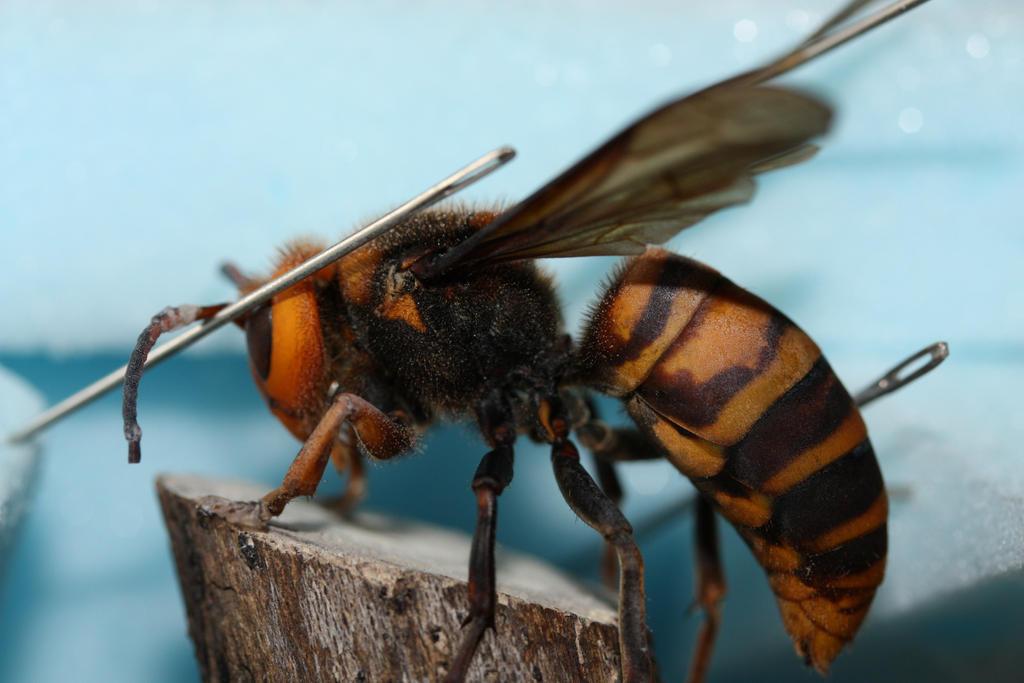 Asian Giant Hornet - Queen