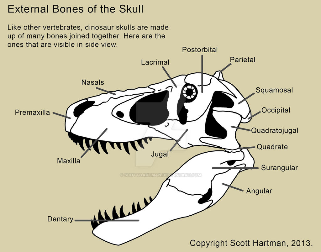 Bones of the theropod skull by ScottHartman on DeviantArt