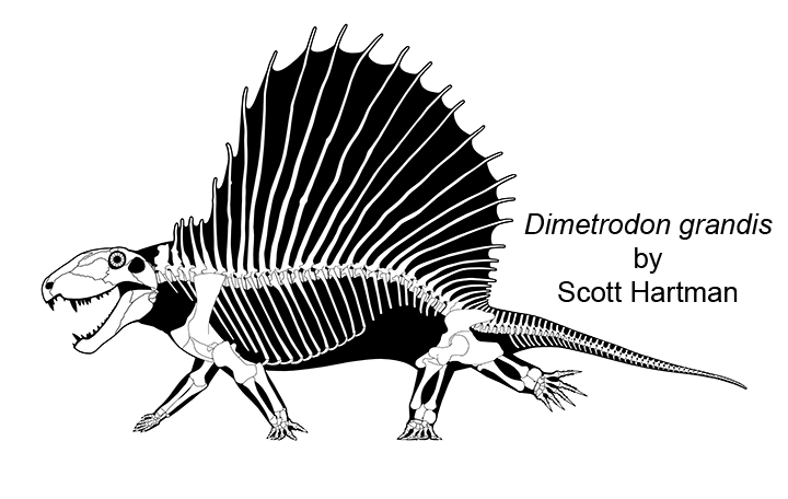 Dimetrodon skeletal 4 web by ScottHartman