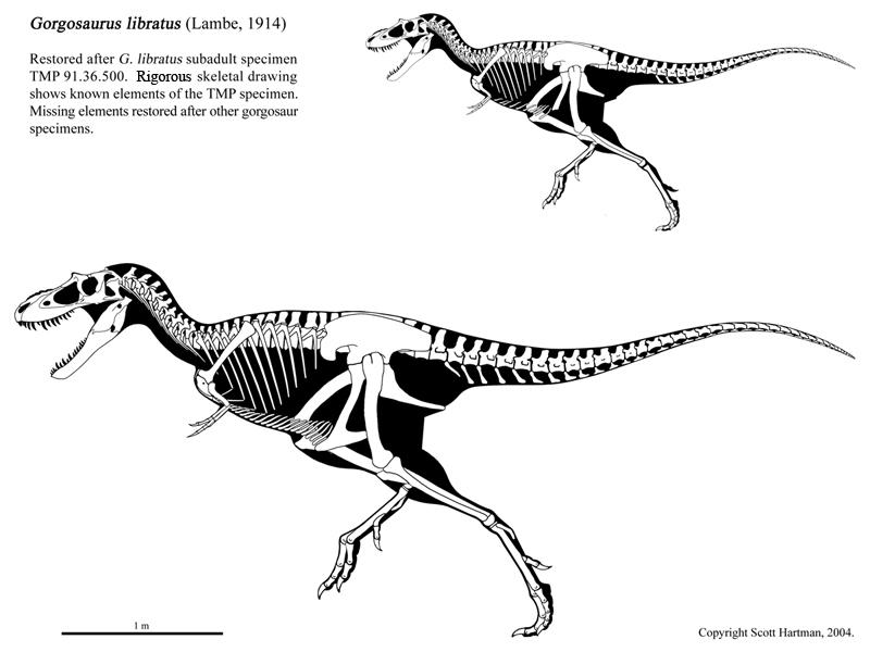 Gorgosaurus libratus by ScottHartman