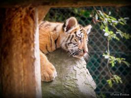 Little tiger by FabienBertham