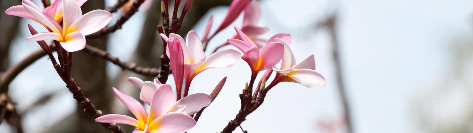Pink Flowers by Bathlamos