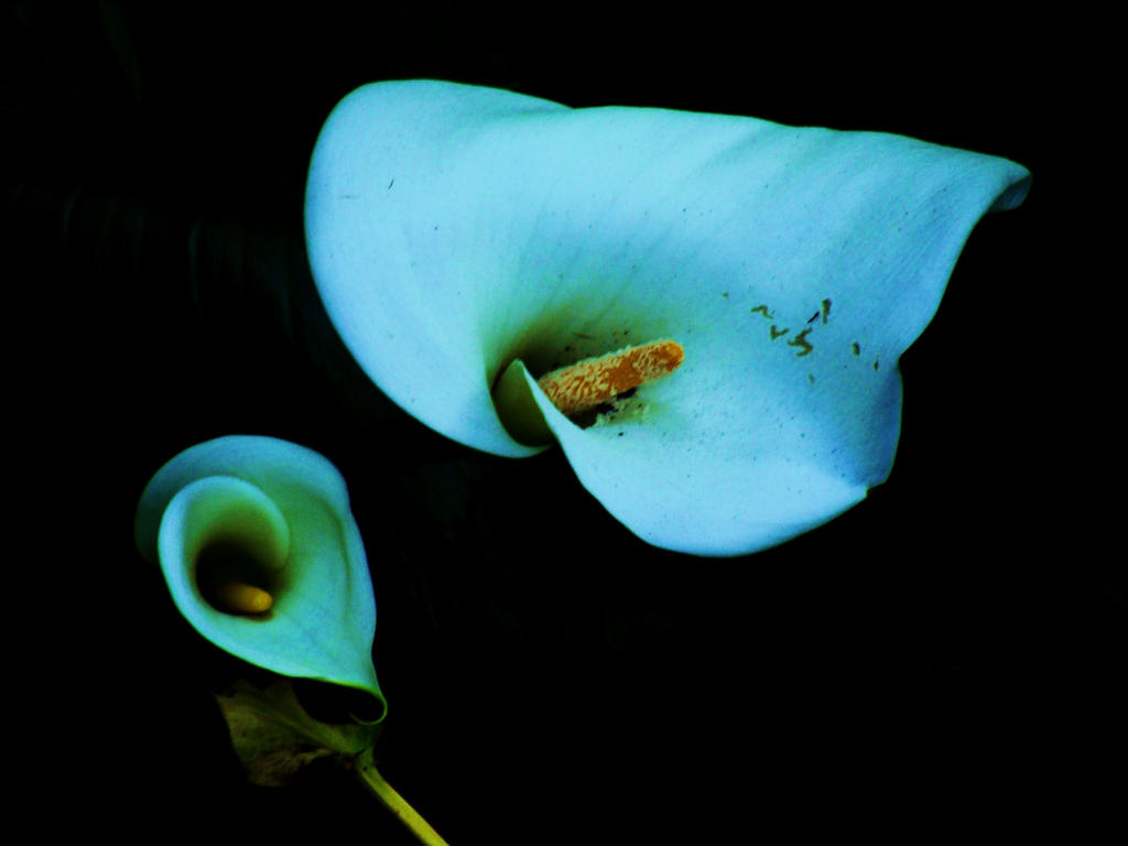 blue calla lilies by the bumble bee one on deviantart. Black Bedroom Furniture Sets. Home Design Ideas
