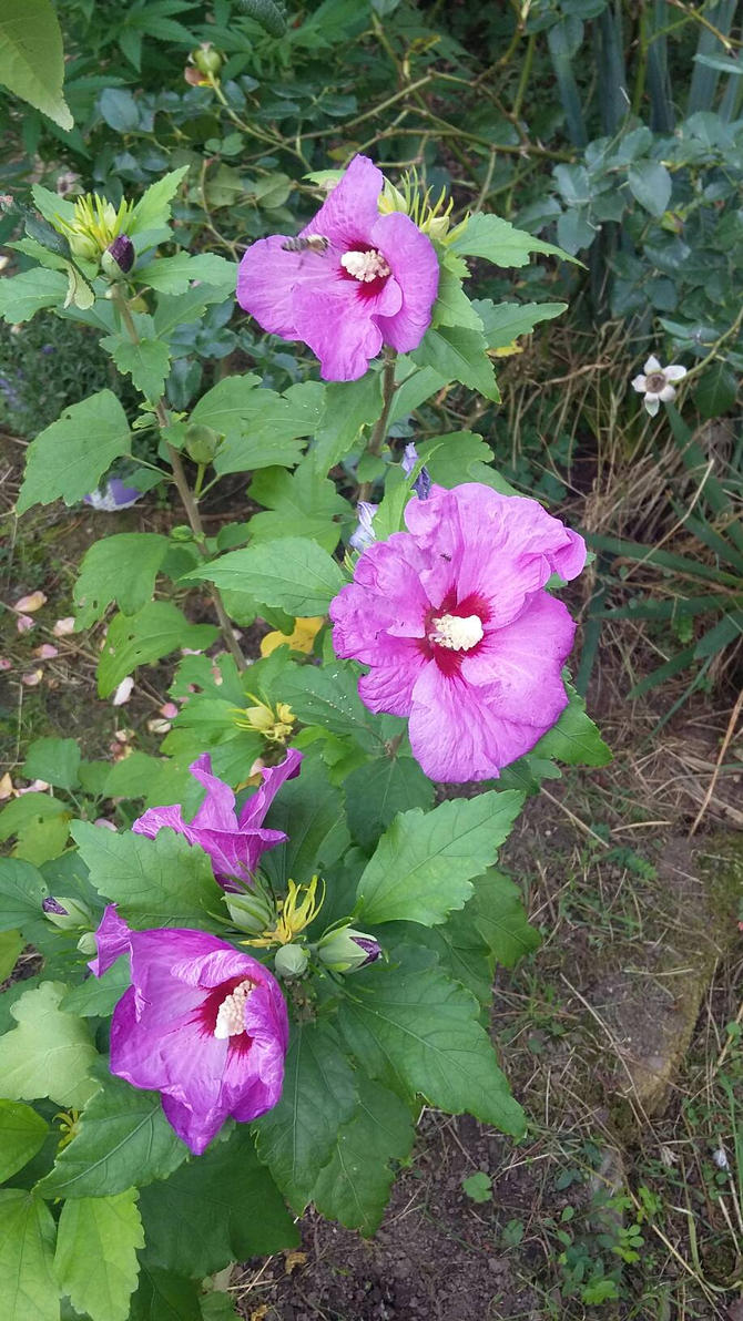Hibiscus Blooms By Cians Sacred Lair On Deviantart