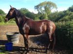 Horse Stock 2