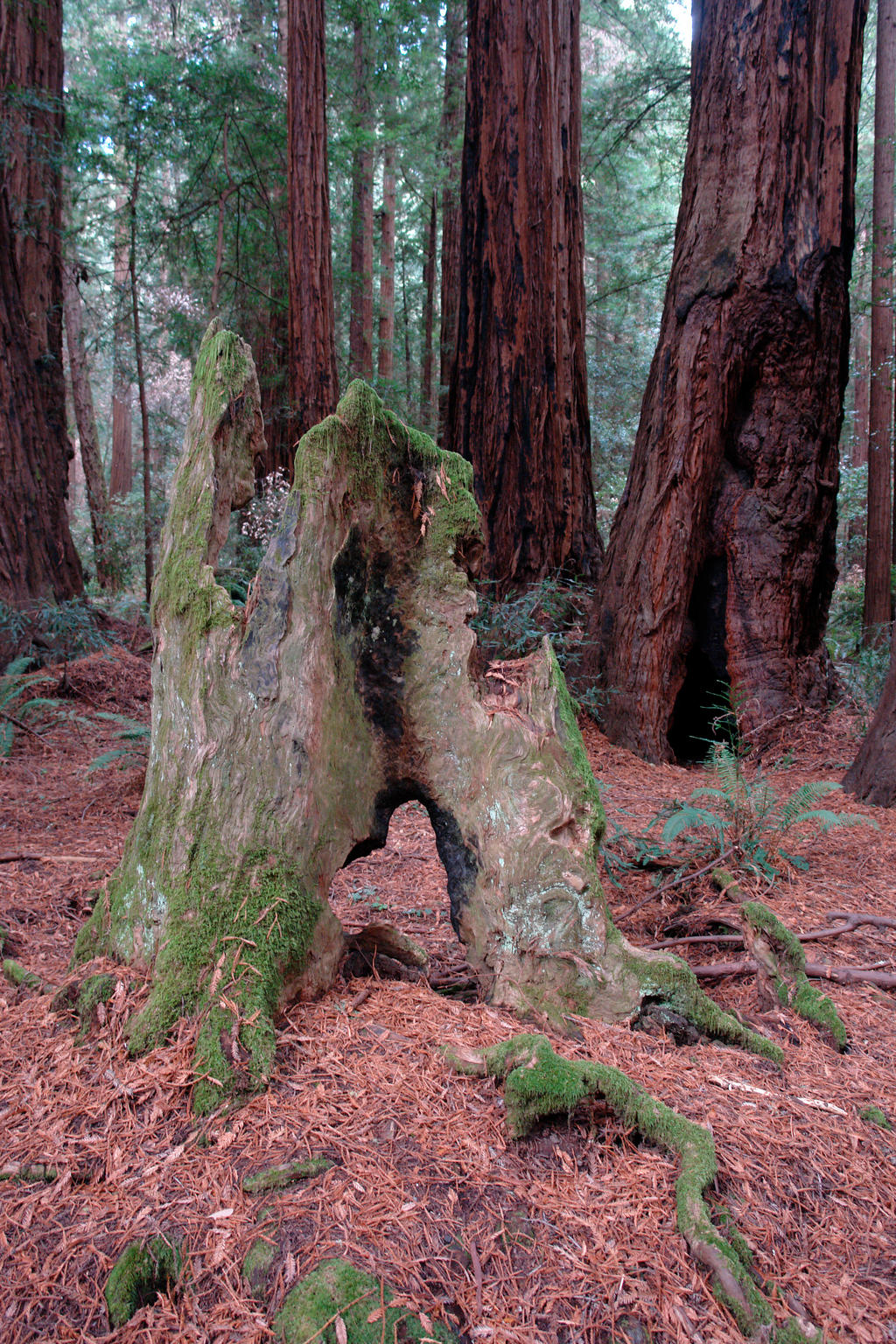 Redwood Stump by archistock