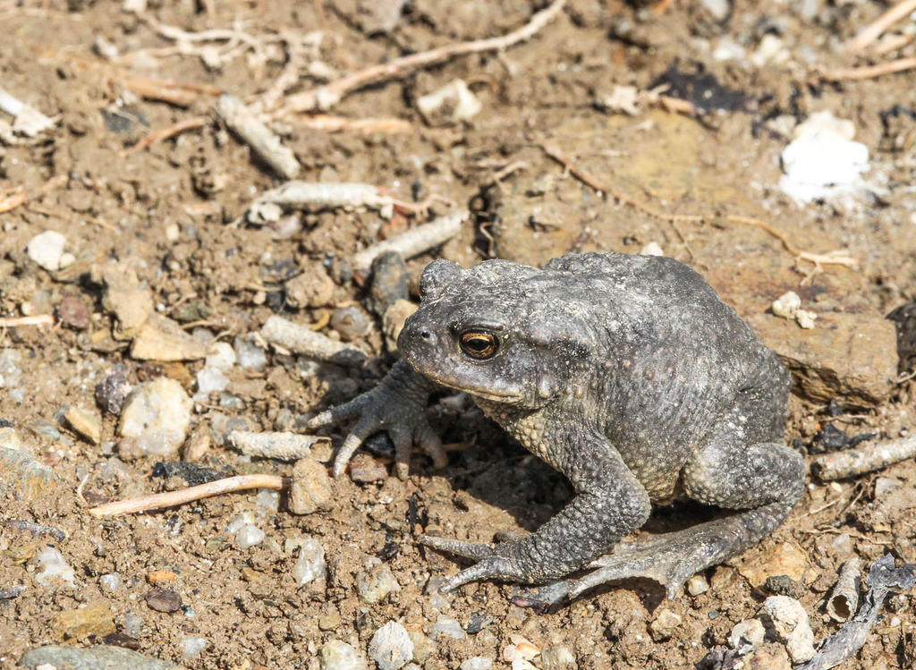Toad by Geater