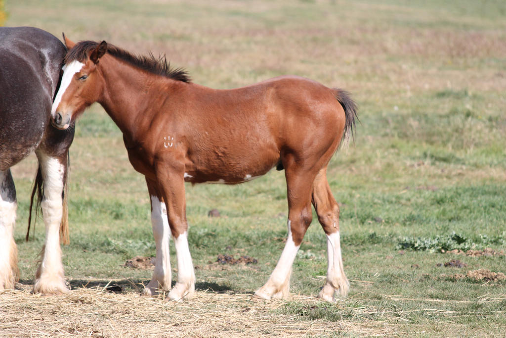 Bay Clydesdale Foal by How-You-Remind-Me