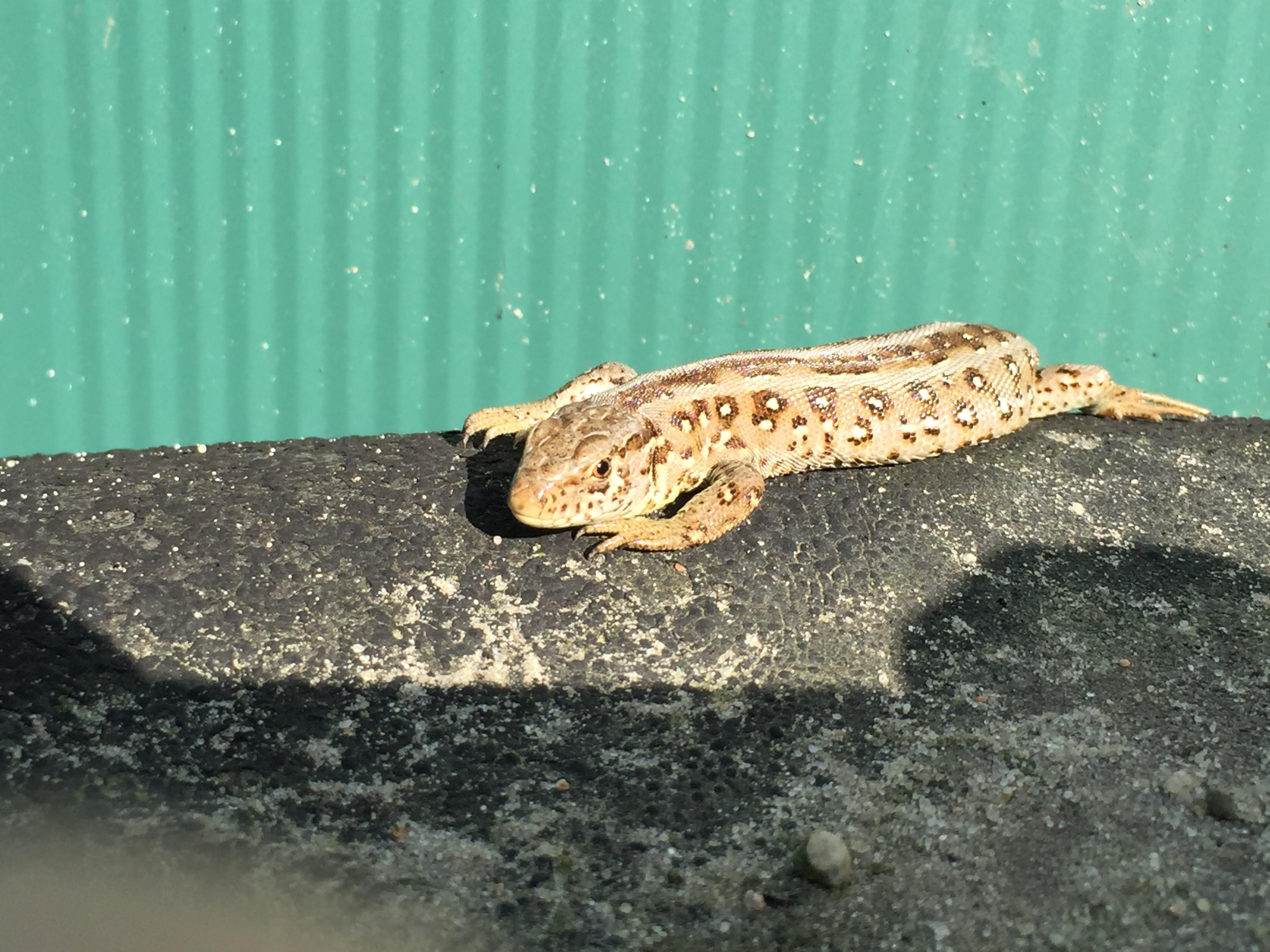 Lizard by headstert
