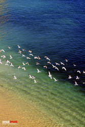 The Gulls by Cipriano