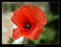 Red Poppy by Selus