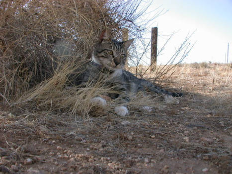 Cat in High Plains Dry Grass